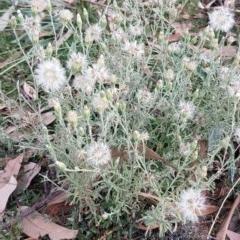 Vittadinia gracilis at Bass Gardens Park, Griffith - 27 Dec 2020