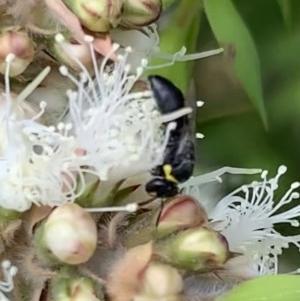 Hylaeus (Gnathoprosopis) amiculinus at Murrumbateman, NSW - 27 Dec 2020