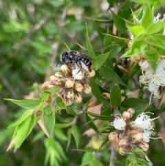 Megachile heliophila at Murrumbateman, NSW - 27 Dec 2020