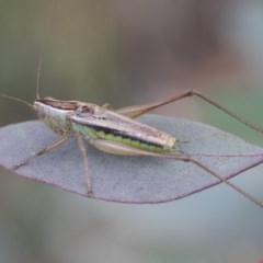 Conocephalus semivittatus (Meadow katydid) at Scullin, ACT - 27 Dec 2020 by AlisonMilton