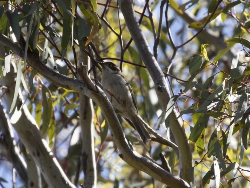 Melithreptus brevirostris at Michelago, NSW - 8 Nov 2020