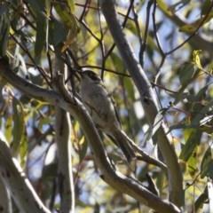 Melithreptus brevirostris (Brown-headed Honeyeater) at Michelago, NSW - 8 Nov 2020 by Illilanga
