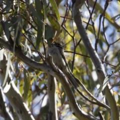 Melithreptus brevirostris at Illilanga & Baroona - 8 Nov 2020