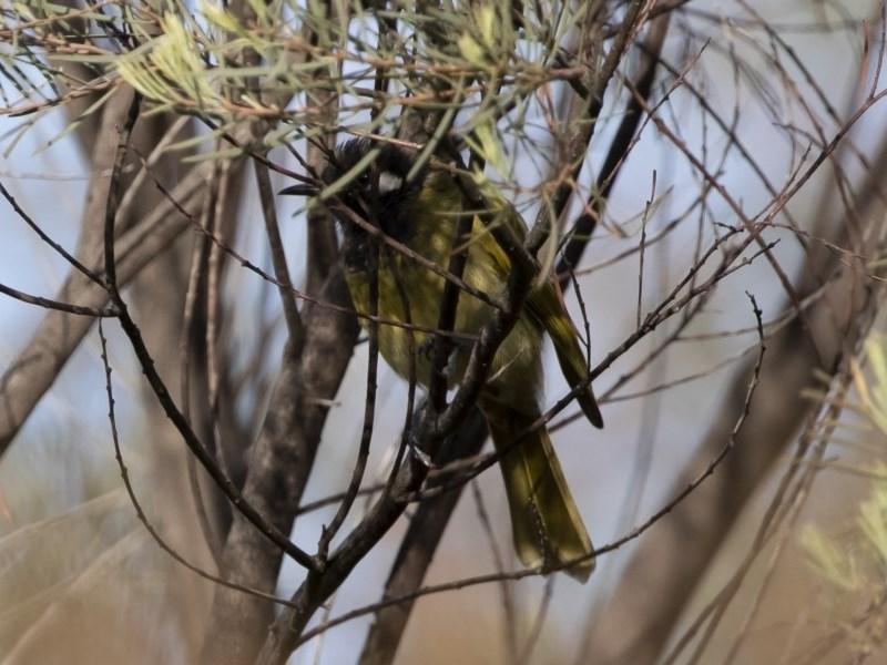 Nesoptilotis leucotis at Michelago, NSW - 9 Mar 2020