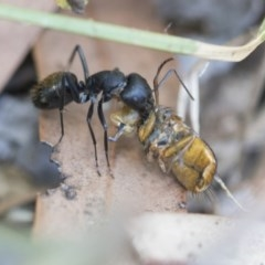 Camponotus aeneopilosus (A Golden-tailed sugar ant) at Higgins, ACT - 27 Dec 2020 by AlisonMilton