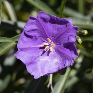 Solanum linearifolium at Illilanga & Baroona - 10 Nov 2020