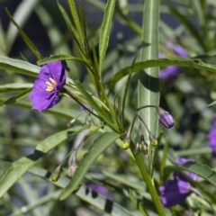 Solanum linearifolium at Michelago, NSW - 10 Nov 2020