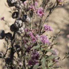 Kunzea parvifolia (Violet kunzea) at Palerang, NSW - 3 Dec 2019 by Illilanga