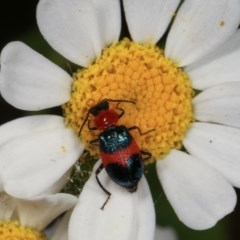 Dicranolaius bellulus (Red and Blue Pollen Beetle) at Melba, ACT - 12 Dec 2020 by kasiaaus