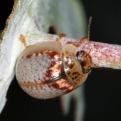 Paropsisterna m-fusca at Melba, ACT - 12 Dec 2020