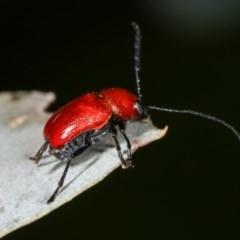Aporocera (Aporocera) haematodes (A case bearing leaf beetle) at Melba, ACT - 12 Dec 2020 by kasiaaus