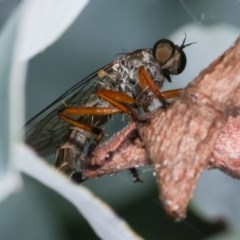 Cerdistus sp. (genus) (Robber fly) at Melba, ACT - 12 Dec 2020 by kasiaaus
