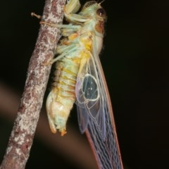 Cicadettini sp. (tribe) (Cicada) at Melba, ACT - 12 Dec 2020 by kasiaaus