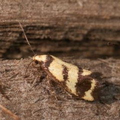 Olbonoma triptycha (Concealer moth) at Melba, ACT - 12 Dec 2020 by kasiaaus