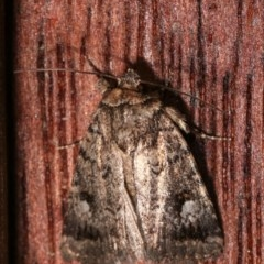 Thoracolopha verecunda (A Noctuid moth (group)) at Melba, ACT - 12 Dec 2020 by kasiaaus