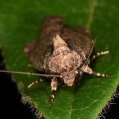 Proteuxoa provisional species 2 at Melba, ACT - 12 Dec 2020