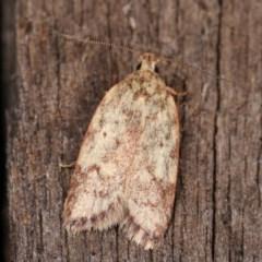 Garrha (genus) (A concealer moth) at Melba, ACT - 12 Dec 2020 by kasiaaus