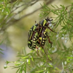 Eupoecila australasiae (Fiddler Beetle) at ANBG - 27 Dec 2020 by TimL