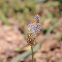 Lucia limbaria (Chequered Copper) at Red Hill Nature Reserve - 1 Dec 2020 by LisaH
