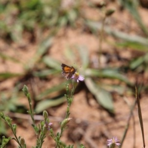 Lucia limbaria at Red Hill Nature Reserve - 1 Dec 2020