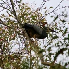 Egretta novaehollandiae (White-faced Heron) at Mongarlowe River - 14 Dec 2020 by LisaH