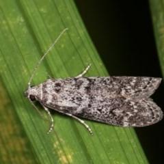 Heteromicta pachytera (Pyralid moth) at Melba, ACT - 12 Dec 2020 by kasiaaus