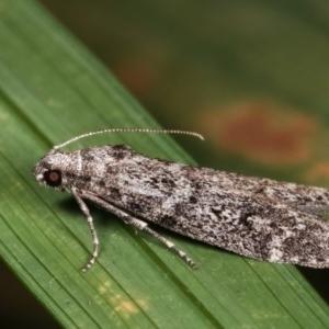 Heteromicta pachytera at Melba, ACT - 12 Dec 2020