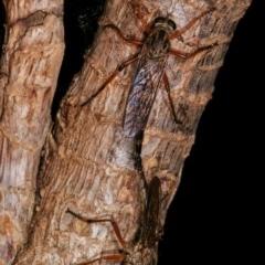Cerdistus sp. (genus) at Melba, ACT - 12 Dec 2020