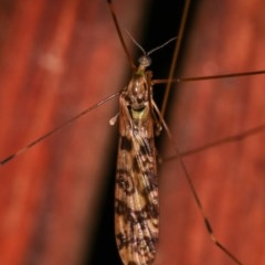 Limoniidae sp. (family) (Unidentified Short-palped Crane Fly) at Melba, ACT - 12 Dec 2020 by kasiaaus
