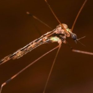 Limoniidae sp. (family) at Melba, ACT - 12 Dec 2020
