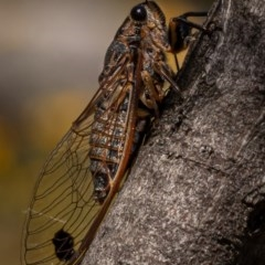 Galanga labeculata (Double-spotted cicada) at Molonglo Gorge - 27 Dec 2020 by trevsci