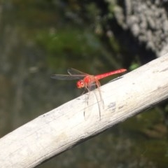 Diplacodes haematodes (Scarlet Percher) at Isaacs Ridge and Nearby - 26 Dec 2020 by Mike