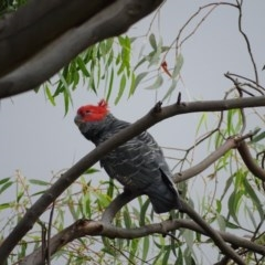 Callocephalon fimbriatum (Gang-gang Cockatoo) at Isaacs Ridge and Nearby - 26 Dec 2020 by Mike