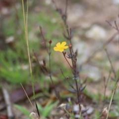 Hypericum gramineum (Small St John's Wort) at Ben Boyd National Park - 27 Dec 2020 by Kyliegw