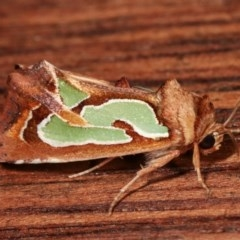 Cosmodes elegans (Green blotched moth) at Melba, ACT - 13 Dec 2020 by kasiaaus