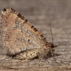 Epyaxa subidaria (Subidaria Moth) at Melba, ACT - 13 Dec 2020 by kasiaaus