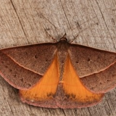 Epidesmia chilonaria (Triangular Geometrid Moth) at Melba, ACT - 13 Dec 2020 by kasiaaus