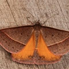 Epidesmia chilonaria (Triangular Geometrid Moth) at Melba, ACT - 13 Dec 2020 by kasiaaus