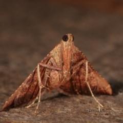 Endotricha ignealis (A Pyralid moth) at Melba, ACT - 13 Dec 2020 by kasiaaus