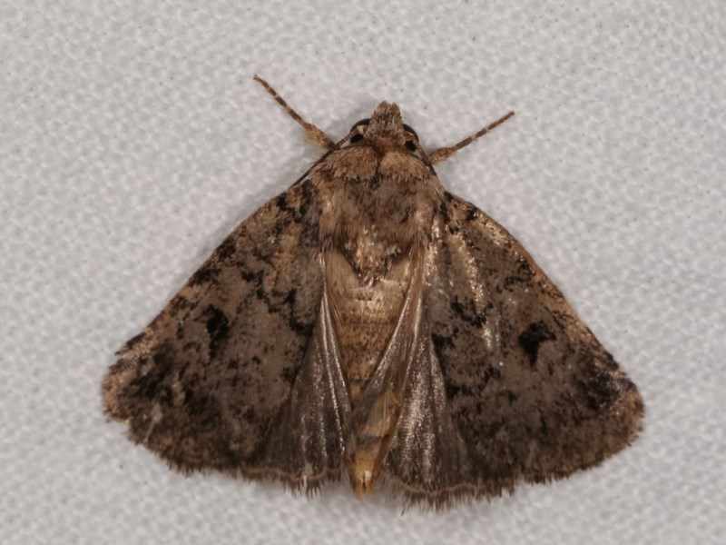 Thoracolopha provisional species at Melba, ACT - 13 Dec 2020