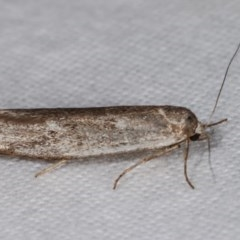 Philobota (genus) at Melba, ACT - 13 Dec 2020