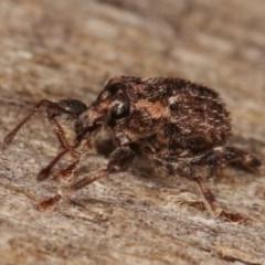 Mandalotus sp. (genus) (Unidentified Mandalotus weevil) at Melba, ACT - 13 Dec 2020 by kasiaaus