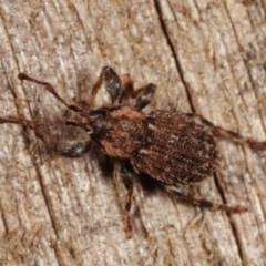 Mandalotus sp. (genus) at Melba, ACT - 13 Dec 2020