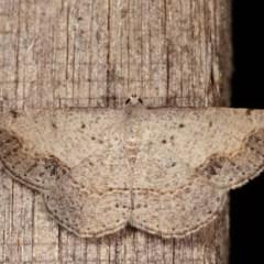 Taxeotis intextata (Looper Moth, Grey Taxeotis) at Melba, ACT - 13 Dec 2020 by kasiaaus