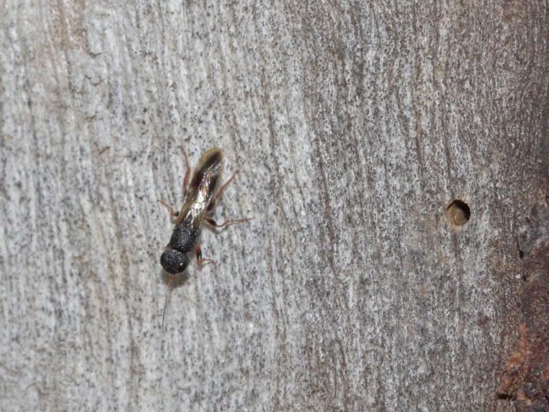 Megalyra sp. (genus) at ANBG - 27 Dec 2020