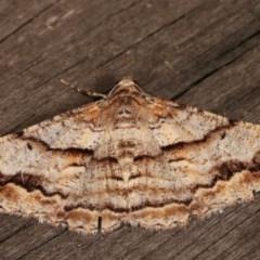 Gastrinodes bitaeniaria (Buff Bark Moth) at Melba, ACT - 13 Dec 2020 by kasiaaus