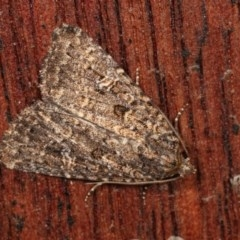 Hypoperigea tonsa (A noctuid moth) at Melba, ACT - 13 Dec 2020 by kasiaaus