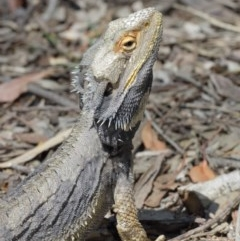 Pogona barbata at ANBG - 27 Dec 2020