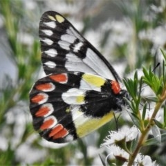 Delias aganippe (Spotted Jezebel) at Tidbinbilla Nature Reserve - 28 Dec 2020 by JohnBundock