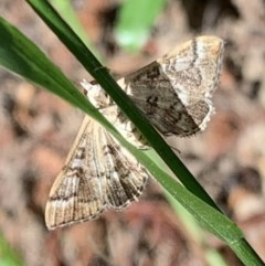 Nacoleia rhoeoalis (A Pyralid Moth) at Murrumbateman, NSW - 28 Dec 2020 by SimoneC